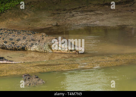 The saltwater crocodile (Crocodylus porosus) is a crocodilian native to saltwater habitats and brackish wetlands from India's east coast across Southe - Stock Photo