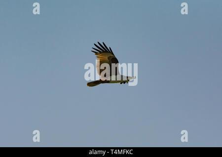 Brahminy Kite. Haliastur indus. Single adult in flight. Sri Lanka. - Stock Photo