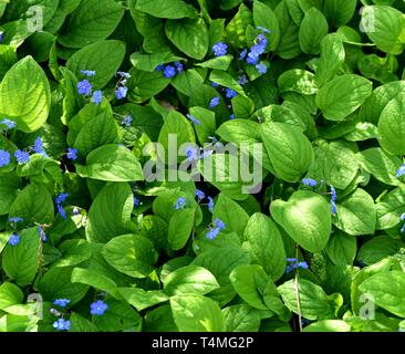 A clump of Blue-Eyed Mary - Stock Photo