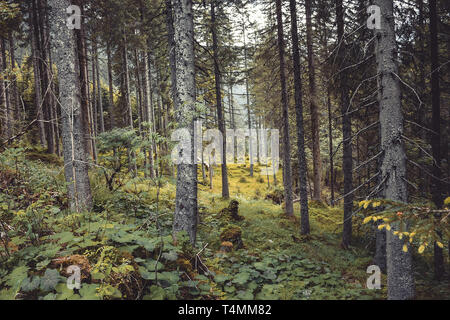 Walk in mysterious dark and old forest. Autumn sunny morning day in Austria - Stock Photo