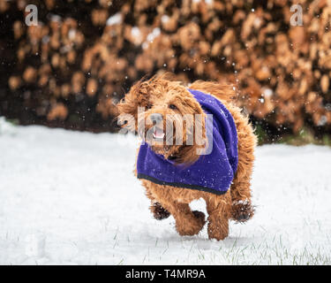 A young cockapoo running in the snow covered woods in the Scottish Highlands - Stock Photo