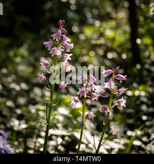 Spring flowering pink Spanish bluebells ( Hyacinthoides hispanica) an English woodland setting. - Stock Photo