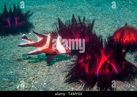 Emperor Snapper [Lutjanus sebae] juvenile sheltering amongst Long-spined Sea Urchins [Astropyga radiata].  North Sulawesi, Indonesia.  Indo-West Pacif - Stock Photo
