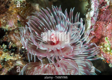 Magnificent tube worm, Feather duster worm [Protula magnifica].  North Sulawesi, Indonesia. - Stock Photo