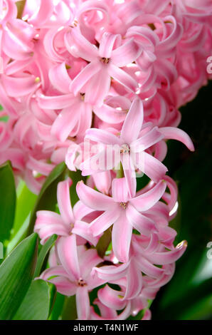 hyacinth pink pearl flowers - Stock Photo