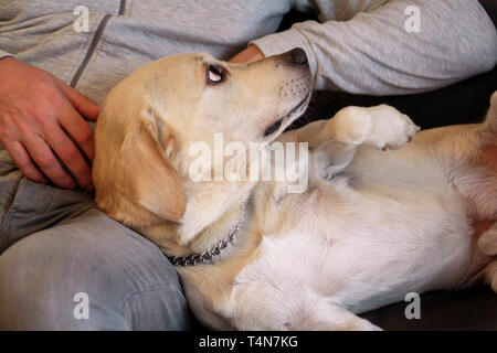 Yellow labrador retriever dog enjoys company of his owner sitting on a couch together and petting lovely dogs. Owner having fun with his pet concept. - Stock Photo