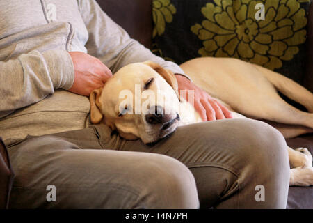 Dog is resting for man owner petting his pet, closeup. Yellow labrador retriever dog feel happy while his owner pampering. Pet owner with dog at home. - Stock Photo