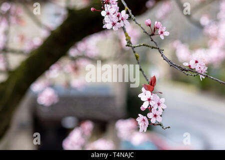 Close up of Prunus Cerasifera Pissardii cherry-plum tree blossom with pink flowers on blurred urban background in spring sunshine - Stock Photo