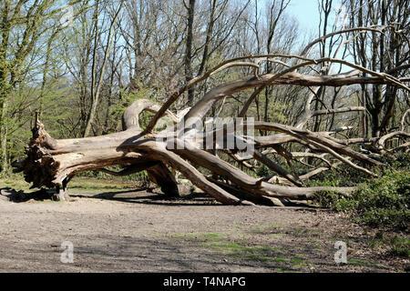 A dead tree laying on the park floor, Hampstead Heath, London - Stock Photo