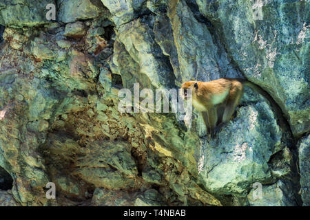 Adult big monkey, Rhesus Macaque, sitting on the cliff and guarding the pack, isolated on rocky background - Stock Photo