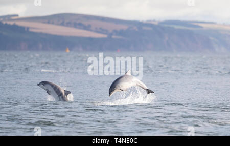 Dolphins in playful happy state while hunting for salmon.  Image  taken standing from shore, amaizing. - Stock Photo