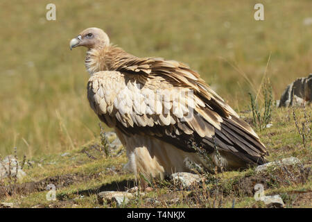 Himalayan Griffon Vulture (Gyps himalayensis) on the Tibetan Plateau - Stock Photo