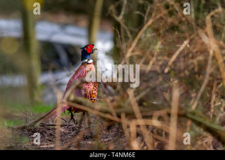 Male pheasant worryingly close to the road with a car in the background, UK (I made sure he didn't do anything stupid!) - Stock Photo