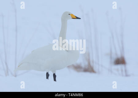 Whooper Swan (Cygnus Cygnus) in the snow - Stock Photo