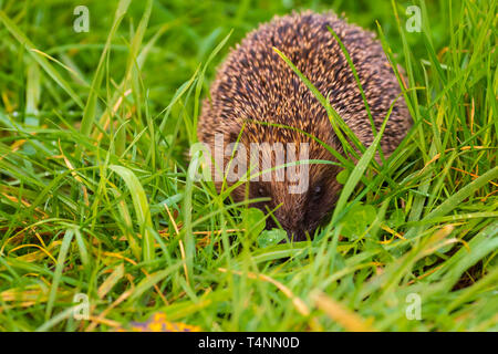 Closeup of a Hedgehog, Erinaceus europaeus, in a meadow in search for food - Stock Photo
