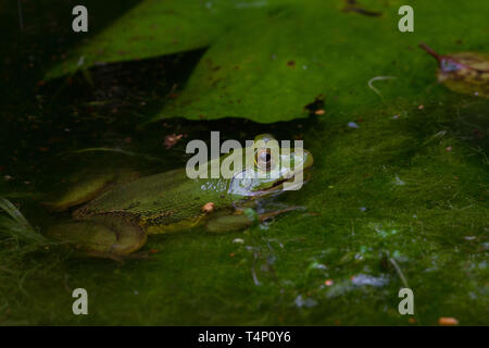 well camouflaged Green coloured frog in pond. Sri Lanka. - Stock Photo