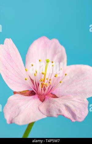 Pink Cherry Blossom flower.