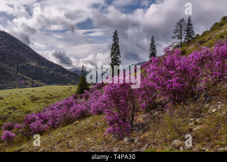 Bright beautiful bushes of purple flowers Rhododendron Ledebour on the slope of the mountain against the blue sky with clouds in the spring - Stock Photo