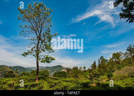 Tree in landscape of trea plantation close to little Adam's Peak in Sri Lanka - Stock Photo