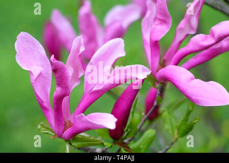 Blooming magnolia sulanzha in spring park - Stock Photo