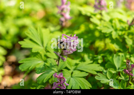 a bumblebee on corydalis flower in forest, frankfurt, germany - Stock Photo