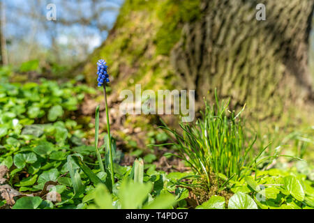 signs of spring: close up of Grape Hyacinth flower in forest frankfurt, germany - Stock Photo