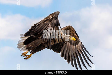 White tailed eagle in flight. Blue sky background. Scientific name: Haliaeetus albicilla, also known as the ern, erne, gray eagle, Eurasian sea eagle  - Stock Photo