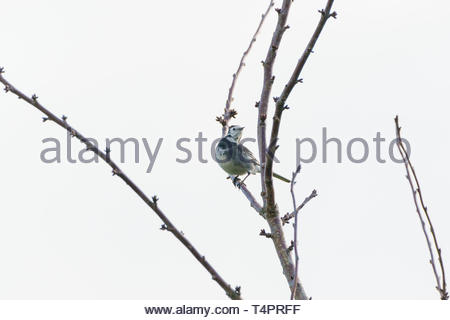 White Wagtail (Motacilla alba) perched in a tree in RSPB Arne, Dorset - Stock Photo