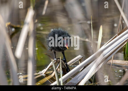 Young moorhen (Gallinula chloropus) duckling  amongst reeds standing on a floating wooden log - Stock Photo