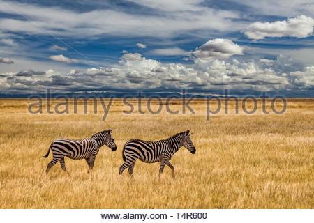 Zebra on grassland in Africa, National park of Kenya. - Stock Photo