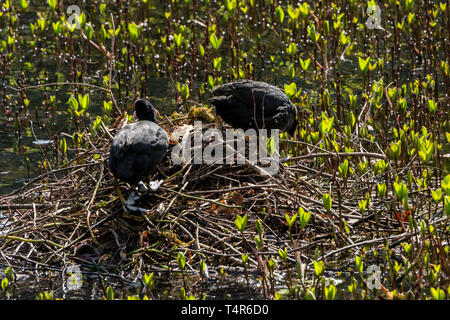 A pair of coots (Fulica atra) on a nest with eggs - Stock Photo