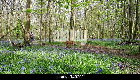 Brighton, UK. 18th Apr, 2019. The Meeker family enjoy a cycle ride on a warm sunny day through Stanmer Park in Brighton which is carpeted in bluebells as the weather is forecast to be warm and sunny over the Easter weekend with temperatures expected to reach over twenty degrees in some parts of the South East Credit: Simon Dack/Alamy Live News - Stock Photo
