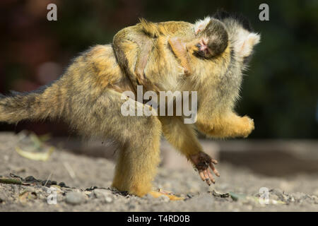 London Zoo, UK. 18th Apr, 2019. ZSL London Zoos Black capped Squirrel Monkeys welcomed a new addition to their troop yesterday (17th April 2019) as mum Toes gave birth to a new baby. Credit: Chris Aubrey/Alamy Live News - Stock Photo