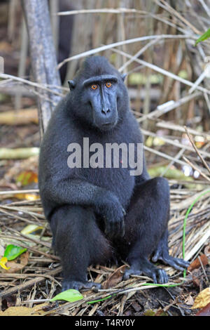 Crested Black Macaque Sulawesi Indonesia - Stock Photo