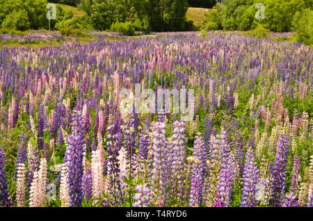 Wild lupins in New Zealand - Stock Photo