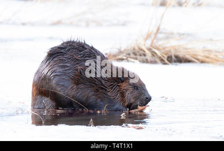 North American Beaver (Castor canadensis) sitting on an icy pond eating wood in early Spring in Canada - Stock Photo