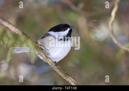 Black-capped Chickadee isolated on white background perched on branch in winter - Stock Photo
