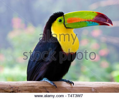 Keel-billed Toucan, Sulfur-Breasted Toucan or Rainbow-Billed Toucan (Ramphastos sulfuratus), sitting on a wooden stick, Costa Rica - Stock Photo