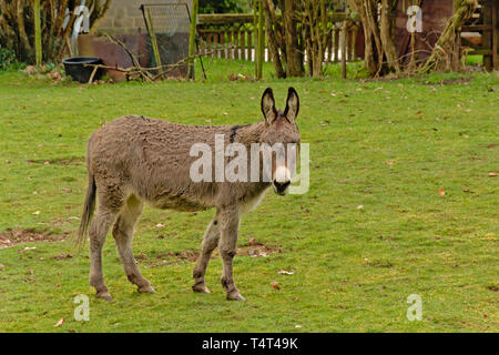 Cute grey donkey in a meadow in the Wallonian countryside, looking at the spectator - Equus africanus asinus - Stock Photo