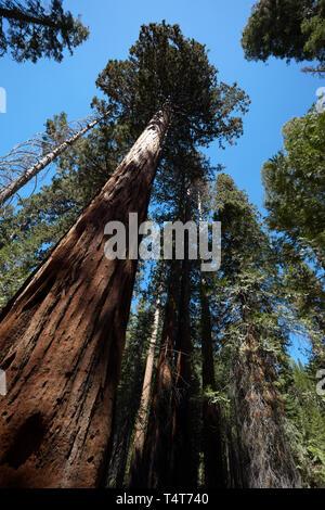 Giant Sequoia, Mariposa Grove, Yosemite, California, America. - Stock Photo