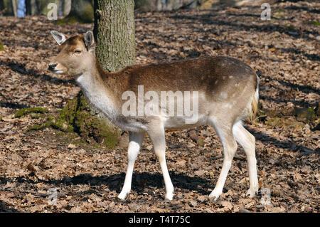 fallow deer, Dama dama, Damhirsch, Damwild, európai dámvad, dámszarvas - Stock Photo