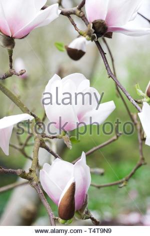 Magnolia 'Milky Way' flowers. - Stock Photo