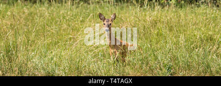 Panorama of a devouring deer in the high grass - Stock Photo