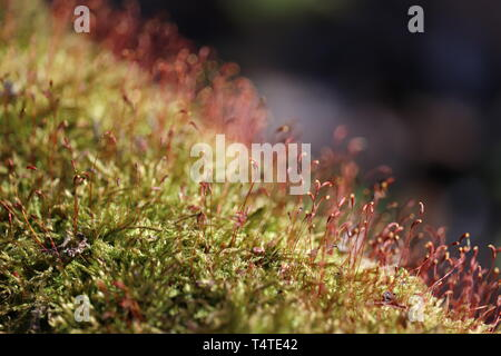 Magic forest, moss with red spore capsules close up. Colorful macro shot of fairy nature, dreamy background - Stock Photo