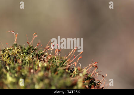 Sunny magic forest, moss with red spore capsules close up. Colorful fairy nature, dreamy background - Stock Photo
