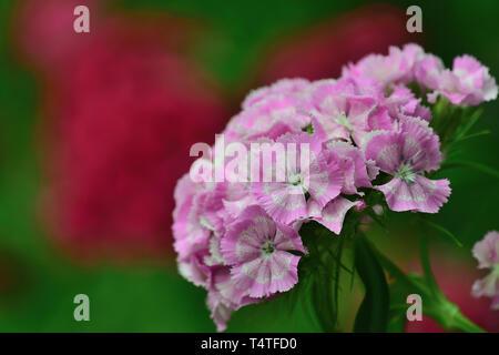 Close up of pink sweet William (dianthus barbatus) flowers - Stock Photo