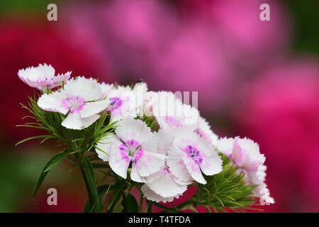 Close up of white sweet William (dianthus barbatus) flowers wth a pink background - Stock Photo