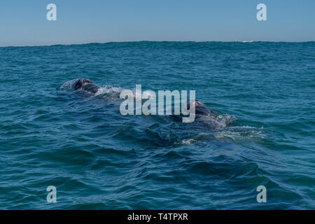 Gray whale (Eschrichtius robustus) mother and calf on the surface off the coast of Baja California, Mexico. - Stock Photo