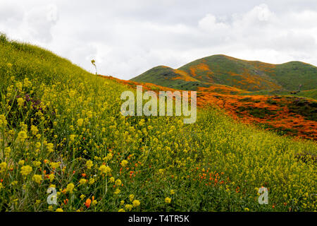 Fiddlenecks (Amsinckia) line the hills of Walker Canyon in Lake Elsinore California, during the poppy and wildflower superbloom - Stock Photo