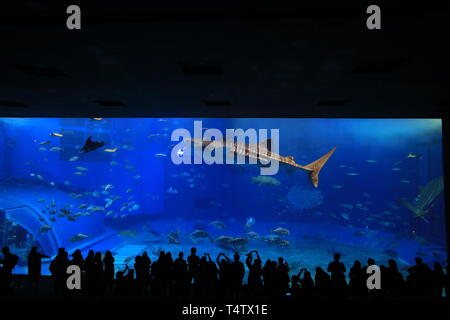 the unidentified tourists take photo with the whale sharks in front of Kuroshio Sea tank in Okinawa Churaumi Aquarium - Stock Photo